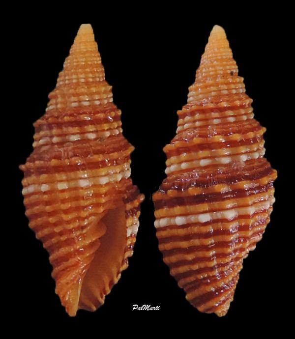 Vexillum crocatum - (Lamarck, 1811) - Page 2 Vexill14