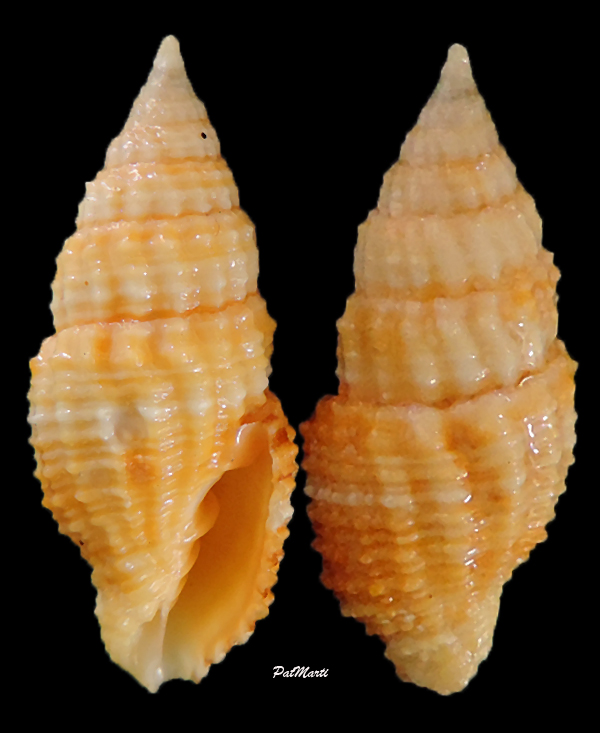 Vexillum aureolatum - (Reeve, 1844) Vexill15