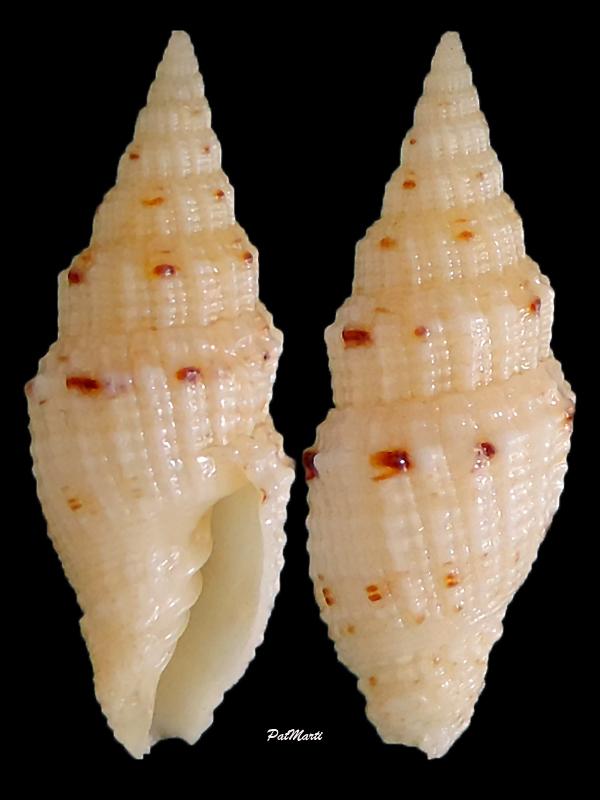 Vexillum corbicula - (G. B. Sowerby II, 1870) Vexill20