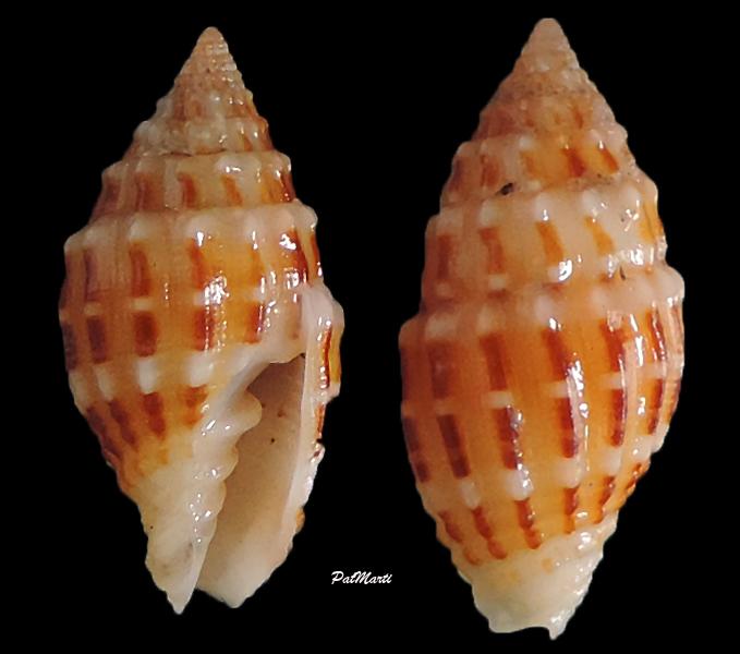 Vexillum speciosum - (Reeve, 1844) Vexill21