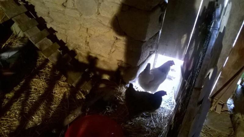 Mes poules Poules10