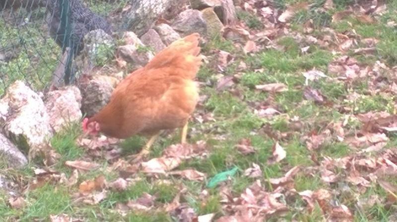 Mes poules Poules11