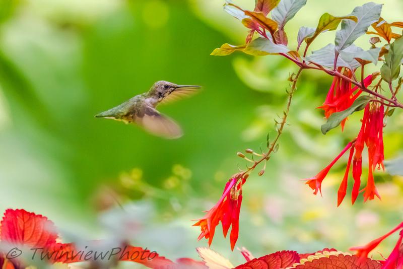 une demi-heure avec un colibri (5 photos) 002_5310