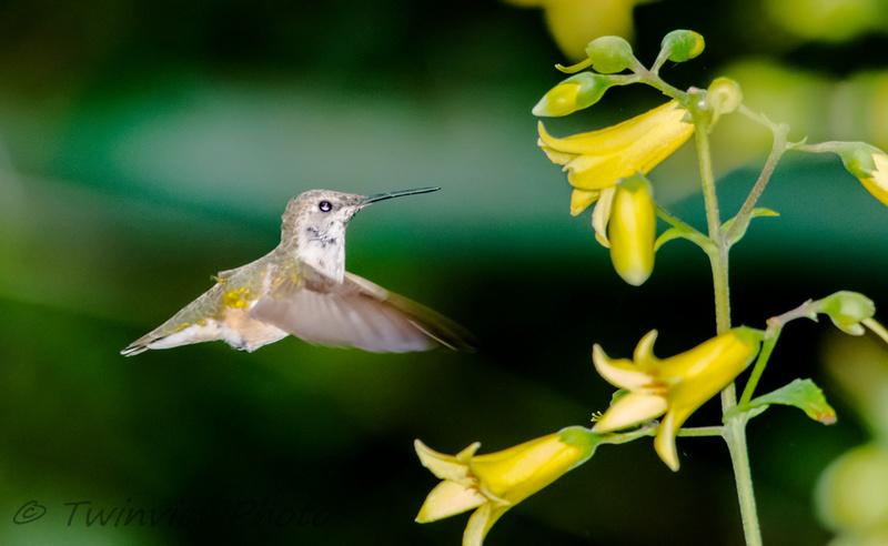 une demi-heure avec un colibri (5 photos) 002_5311