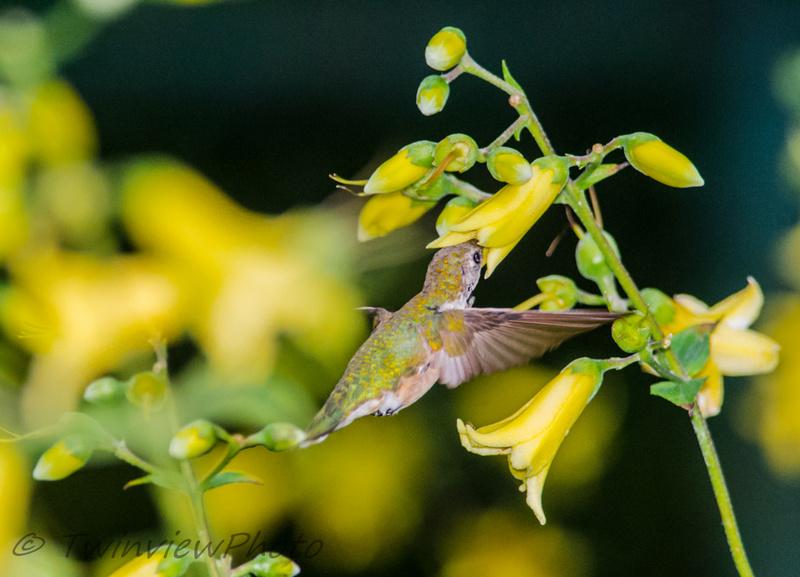 une demi-heure avec un colibri (5 photos) 002_5312
