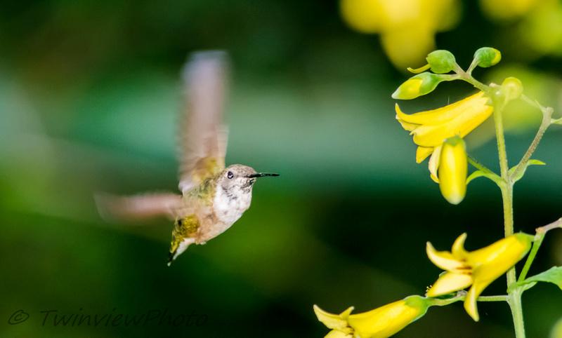 une demi-heure avec un colibri (5 photos) 002_5410
