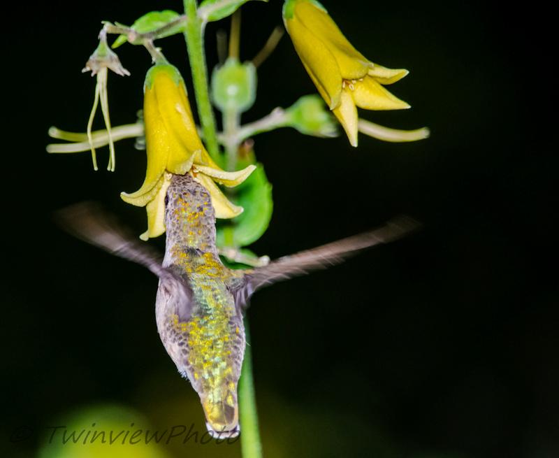 une demi-heure avec un colibri (5 photos) 002_5411