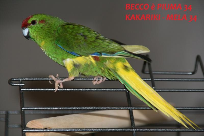 Présentation de Becco et Piuma 34 Mela_310