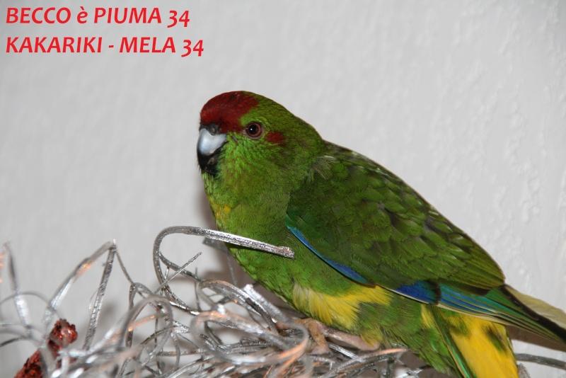 Présentation de Becco et Piuma 34 Mela_313