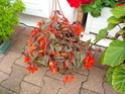 Begonia x Growing Embers  Dscn6610