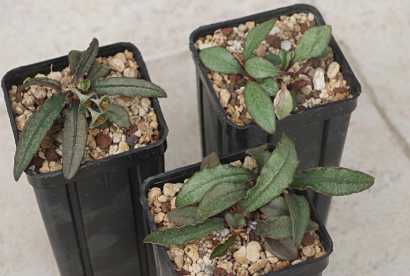 Euphorbia francoisii - Page 13 Dsc_4211