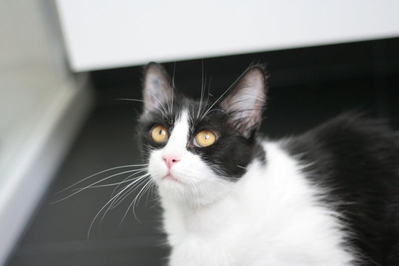 Mandy, femelle poils mi longs noire et blanche, née le 03/07/16 Img_8519