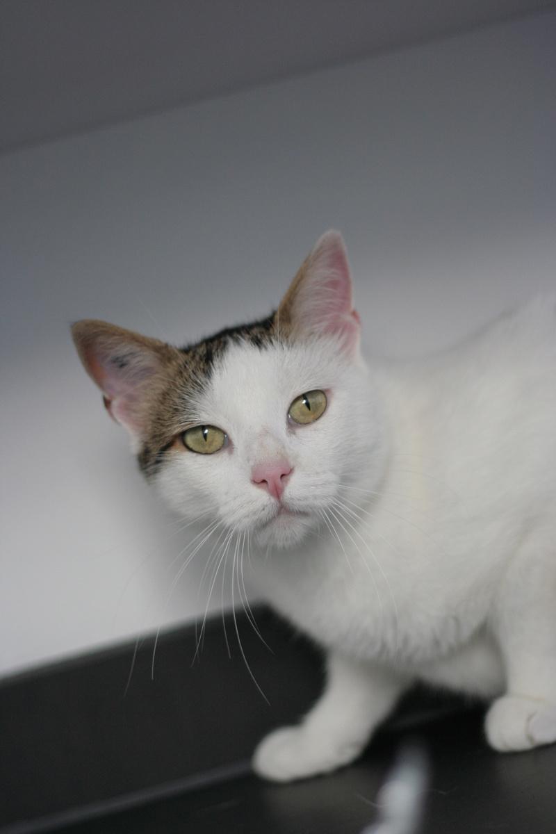 JENNIFER, chatte européenne blanche et tigrée, née en 2014. Img_8617