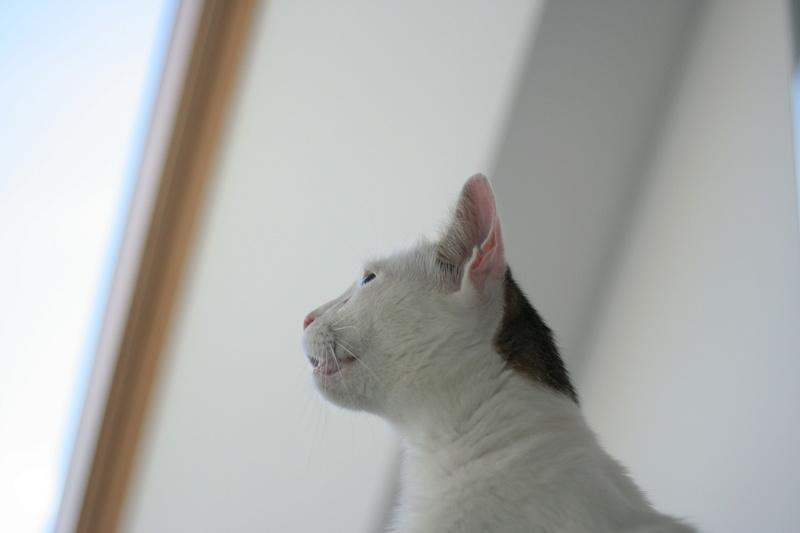 JENNIFER, chatte européenne blanche et tigrée, née en 2014. Img_8710
