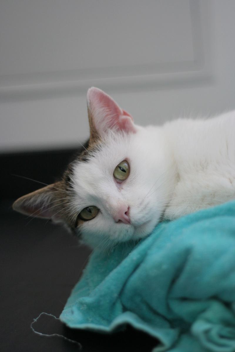 JENNIFER, chatte européenne blanche et tigrée, née en 2014. Img_8714