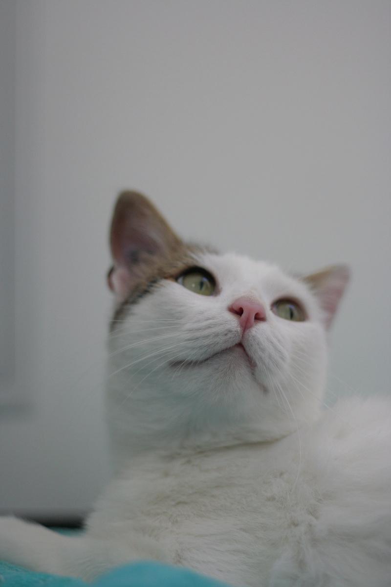 JENNIFER, chatte européenne blanche et tigrée, née en 2014. Img_8715
