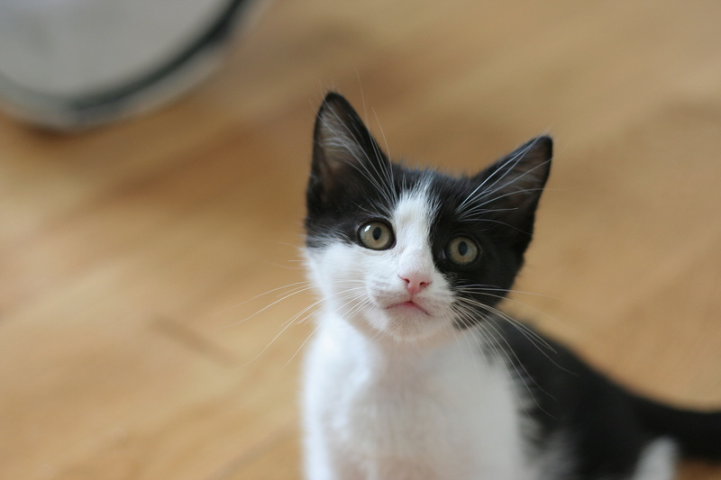 neary - Neary, chatonne noire et blanche née le 12/06/17 Img_8721