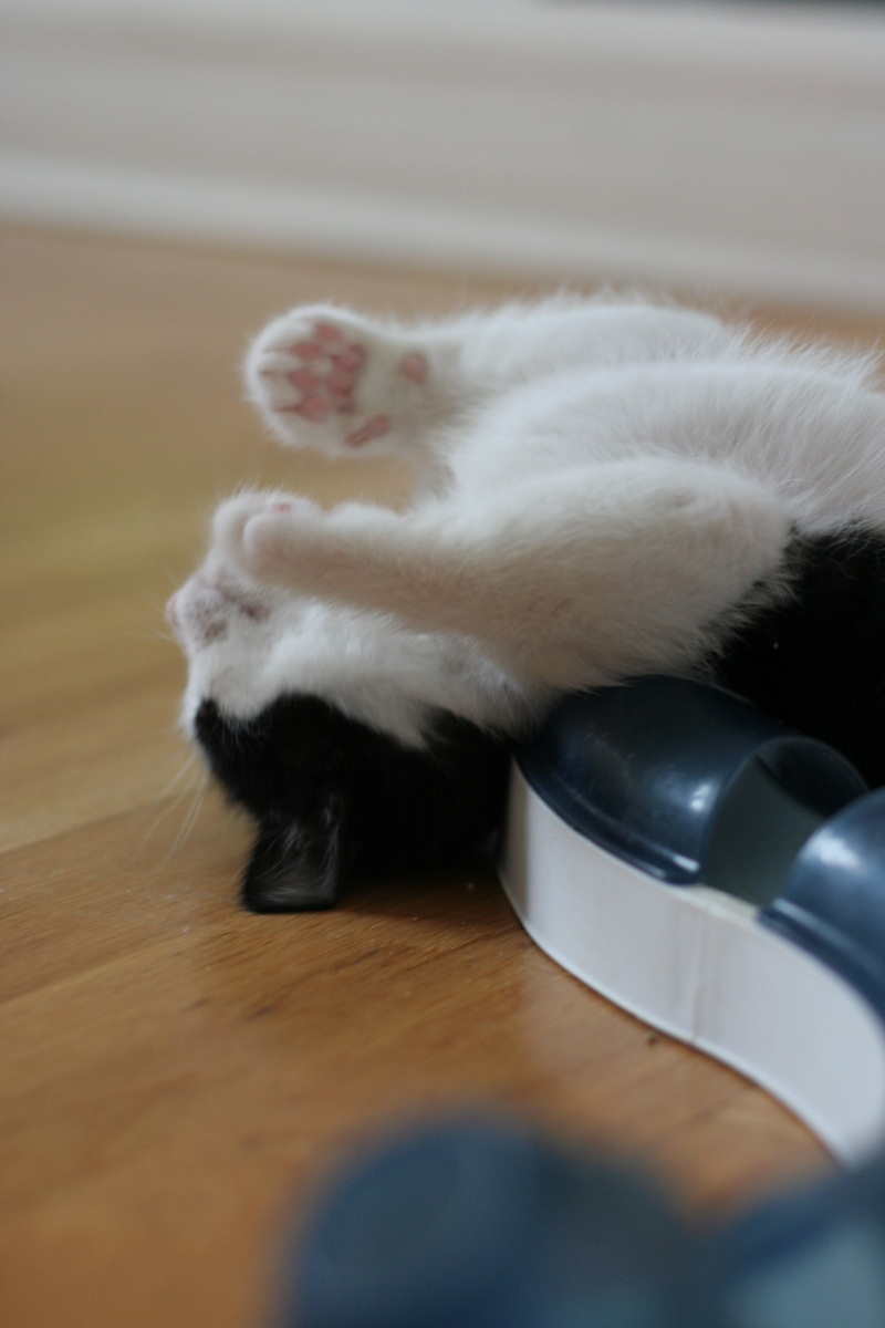 neary - Neary, chatonne noire et blanche née le 12/06/17 Img_8815
