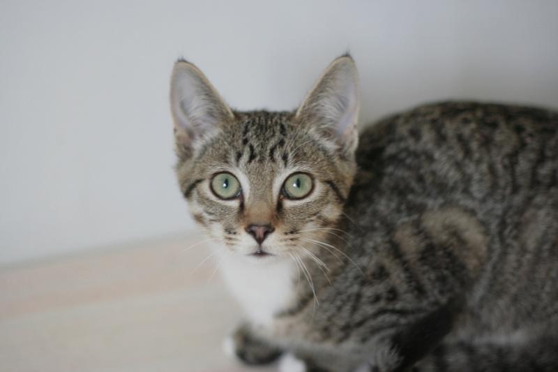NIKEL, chat mâle tigré, né le 22 mai 2017 Img_9416