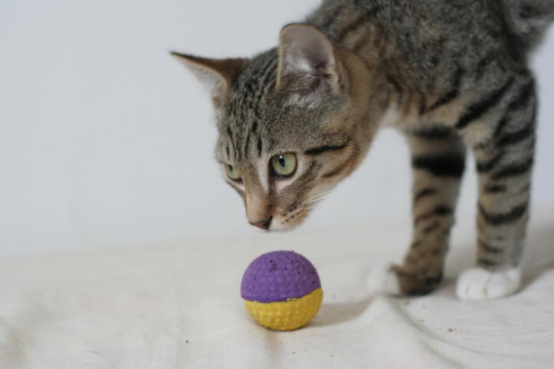 niro - NIRO, chaton mâle tigré, né le 22/05/17 Img_9418