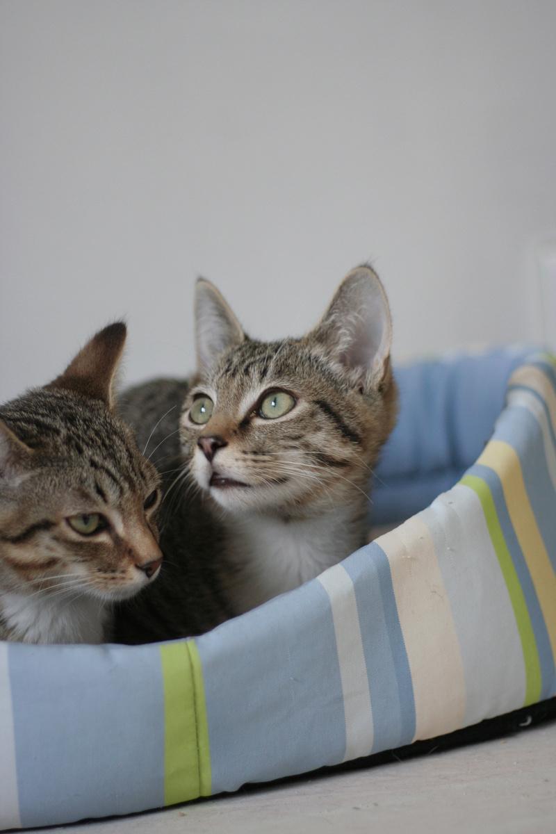 NIKEL, chat mâle tigré, né le 22 mai 2017 Img_9511
