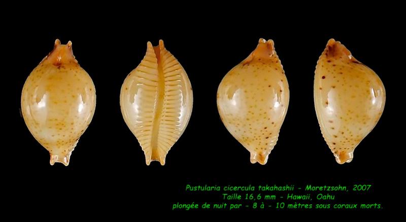 Pustularia cicercula takahashii - Moretzsohn, 2007 Cicerc10
