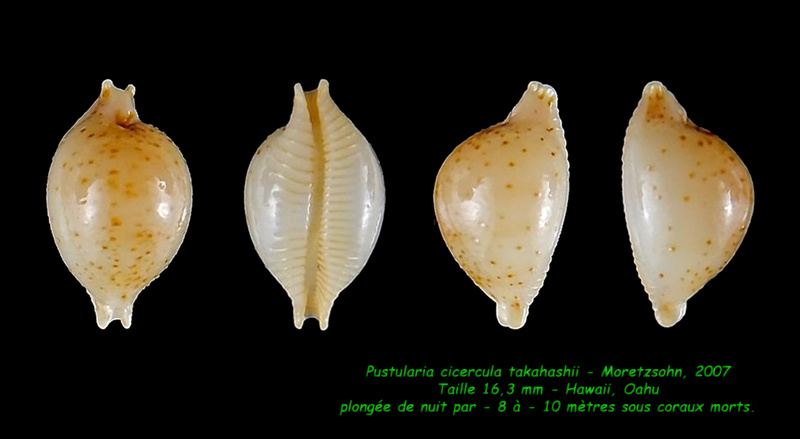 Pustularia cicercula takahashii - Moretzsohn, 2007 Cicerc11