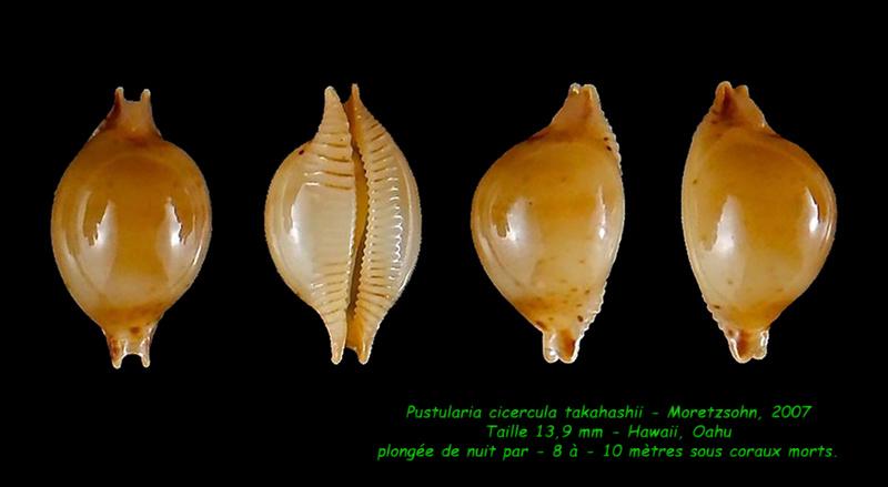 Pustularia cicercula takahashii - Moretzsohn, 2007 Cicerc12
