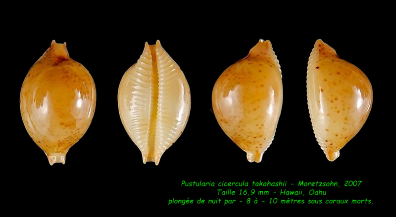 Pustularia cicercula takahashii - Moretzsohn, 2007 Cicerc13