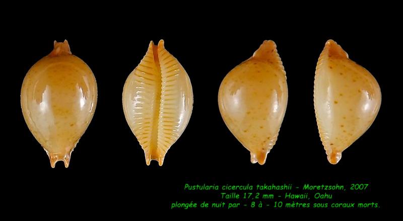 Pustularia cicercula takahashii - Moretzsohn, 2007 Cicerc14