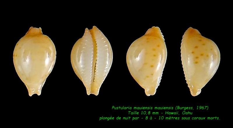 Pustularia mauiensis mauiensis - (Burgess, 1967) Mauien10