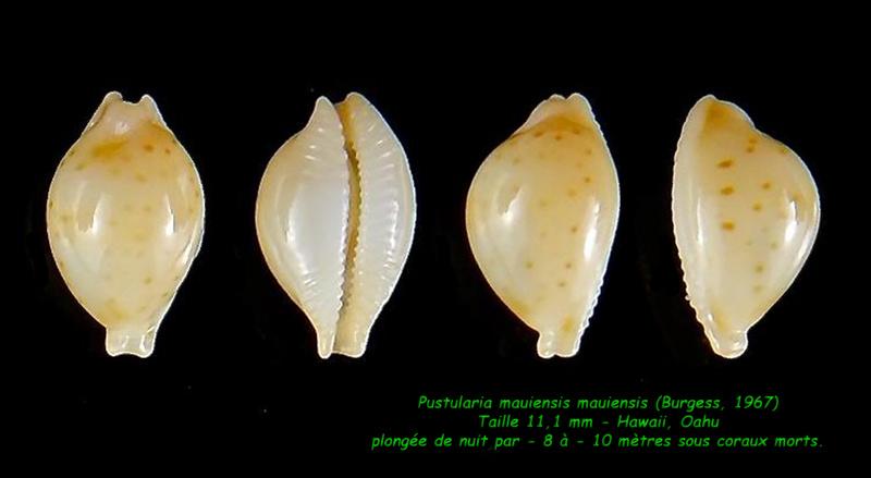 Pustularia mauiensis mauiensis - (Burgess, 1967) Mauien12