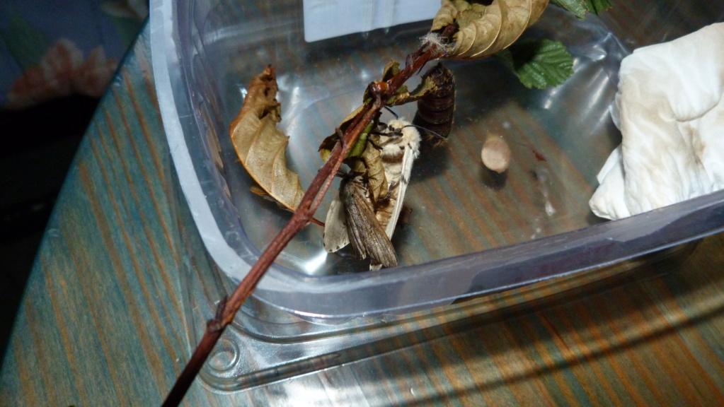 papillon de nuit  P1020013