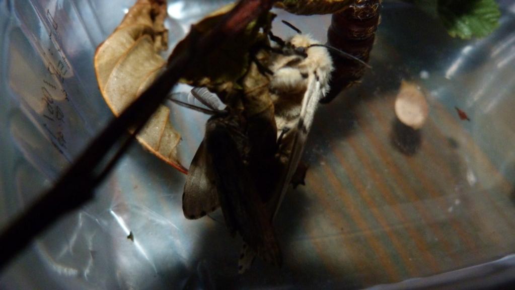 papillon de nuit  P1020014