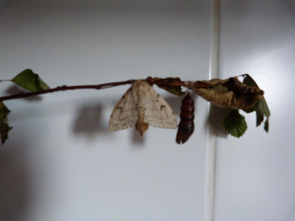 papillon de nuit  P1020015