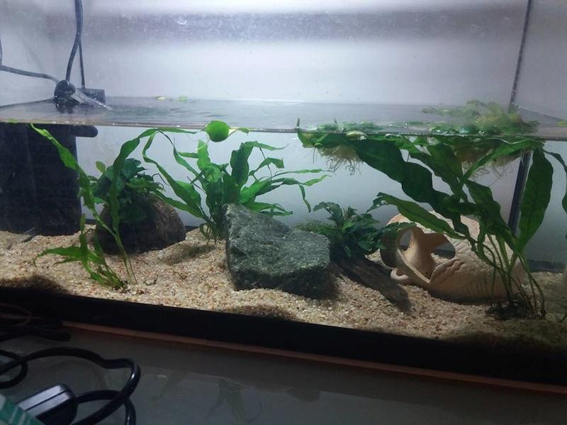 Evolution de mon aquarium en cours de cyclage :) 21463210