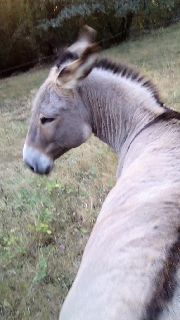 BOURIQUET - ONC âne né en 2009 - adopté en août 2017 par Marie - Page 2 02_09_15