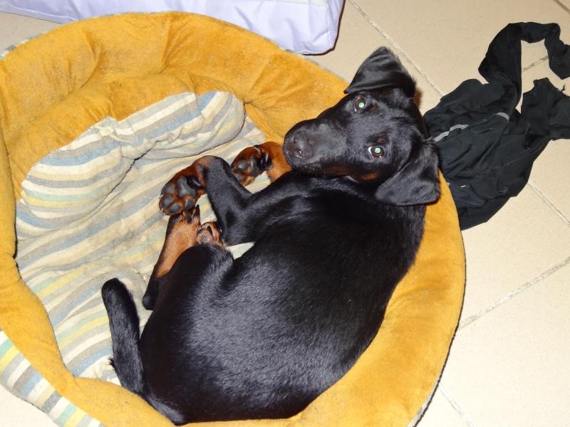 chiots jagd terrier Dsc00014