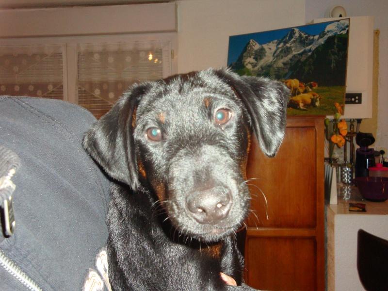 chiots jagd terrier Dsc02810