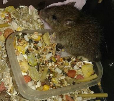 Trouvé jeune rattus norvegicus de 3 ou 4 semaines  15047911