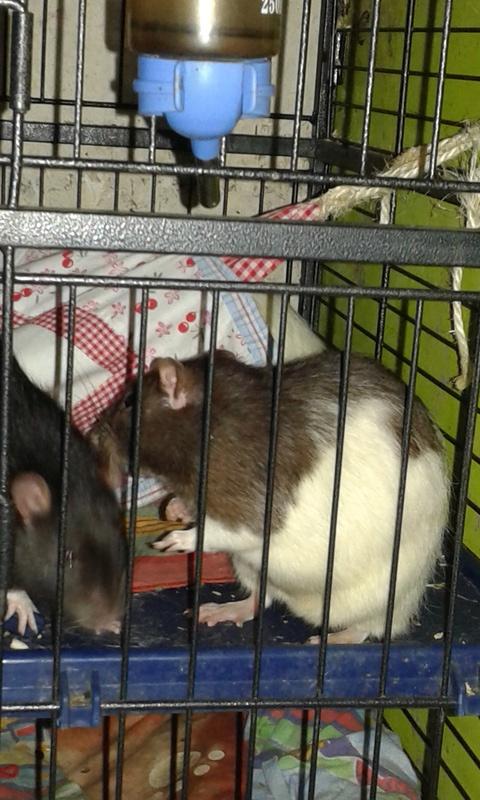 Les rondeurs ratounesques 15052410