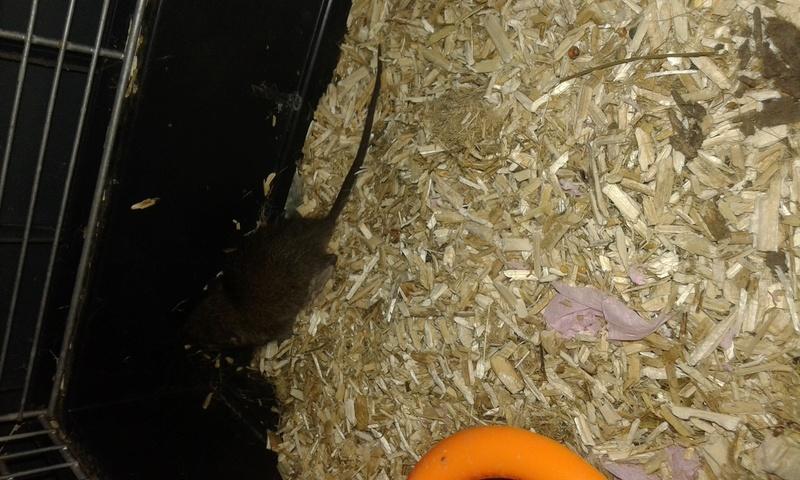 Trouvé jeune rattus norvegicus de 3 ou 4 semaines  20170910