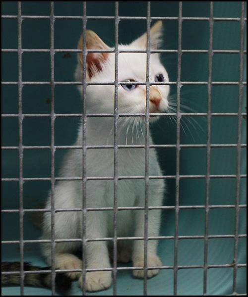 NUTAN  superbe chaton yeux bleux _mg_6817
