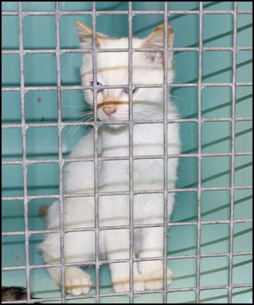 NUTAN  superbe chaton yeux bleux _mg_6818