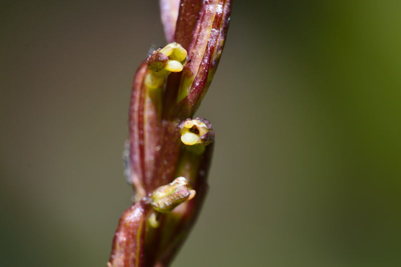 Benthamia dauphinensis Bentha11