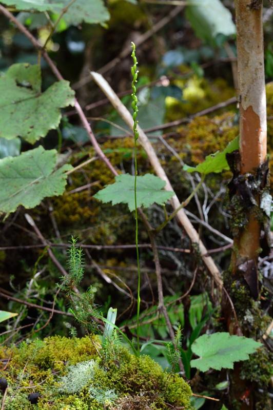 Benthamia dauphinensis Bentha15
