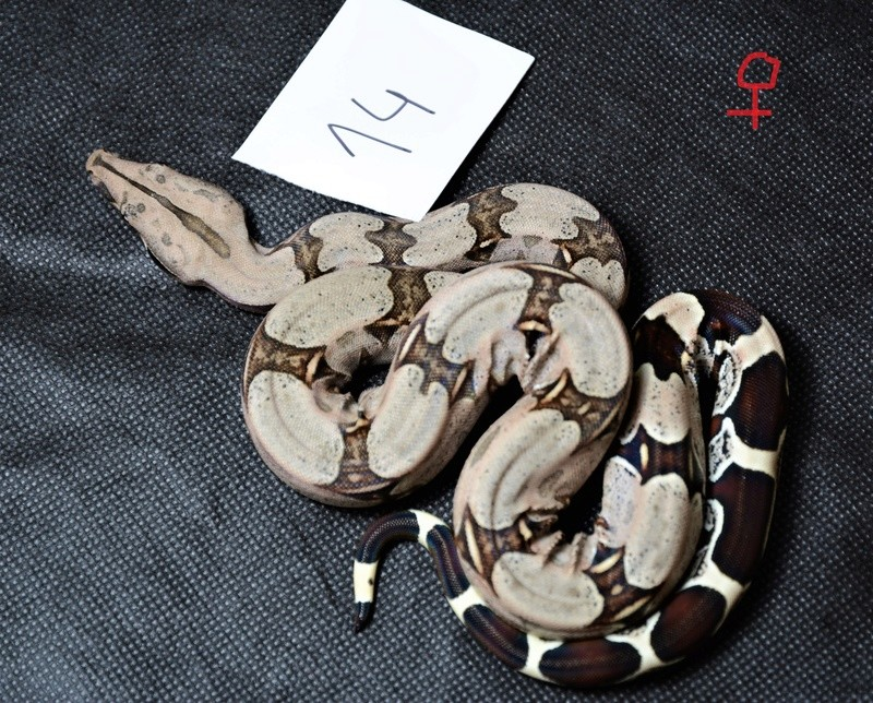 "Boa constrictor constrictor localité ""Suriname"" Dsc_8412"