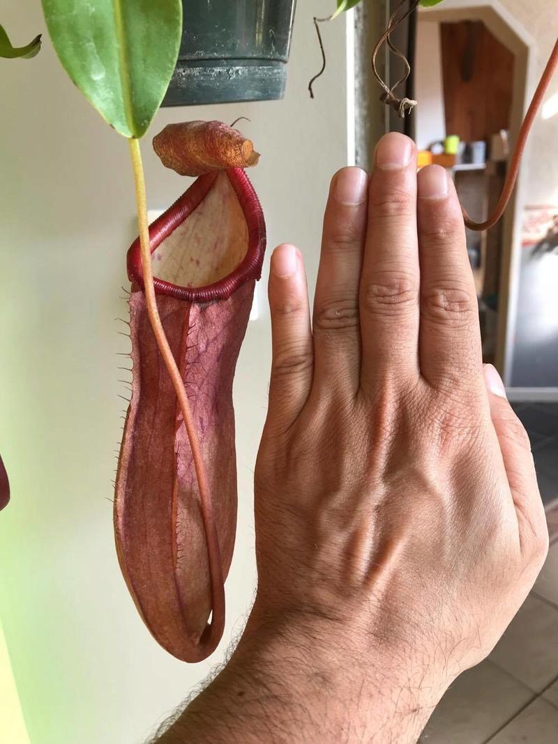 Identification nepenthes svp 21146410
