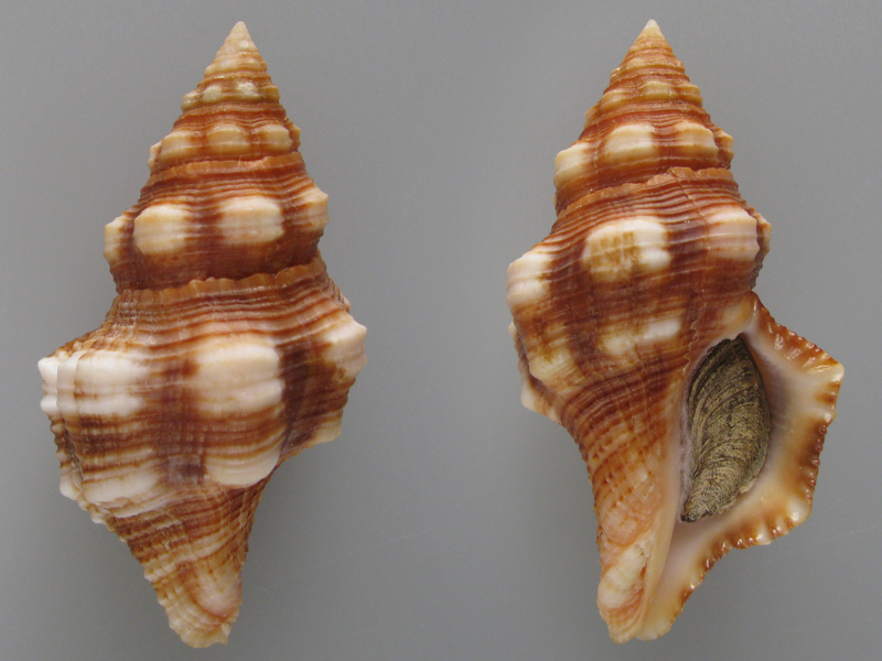 Latirus barclayi - (Reeve, 1847)  Img_2117