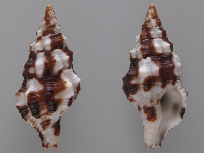 Latirus maculatus - (Reeve, 1847) Img_2119